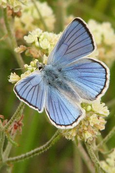 Anna's Blue. A butterfly is a mainly day-flying insect of the order Lepidoptera, which includes the butterflies and moths.