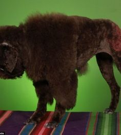 poodle dog haircuts 1000 ideas about haircuts on grooming 5481 | 81cd5d213f3de228052f86c5481be8ef