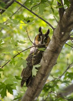 Long-eared owl, Andover, Minnesota (October)