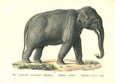 Fine Art Print by Brodtmann of Indian Elephant (male) Antique Prints, Vintage Prints, Vintage Art, Indian Elephant, Elephant Print, Hanging Art, Print Pictures, Animal Kingdom, Animals Beautiful