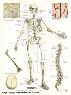 http://acupunctureproducts.com/anatomy_charts.html