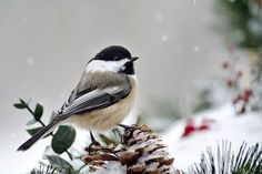 Close-up side view of a Black-Capped Chickadee (Poecile atricapillus), perched on pine cones in winter, with gently falling snow in the background. Description from pinterest.com. I searched for this on bing.com/images