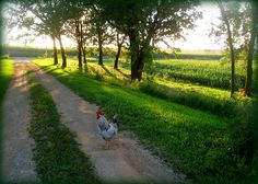 chicken crossing the road . . .