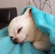 Chihuahua dogs are part of the toy dog breed, bringing a lot of energy in a tiny package. Find out more about the Chiwawa dog here. Chihuahua Puppies, Cute Puppies, Dogs And Puppies, Chihuahuas, Funny Chihuahua, Teacup Chihuahua, Pet Dogs, Dog Cat, Doggies