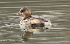 Pied-billed Grebes swim happily on the water.   Butterfly On My Shoulder - Photography and Design - Chilliwack, BC, Canada