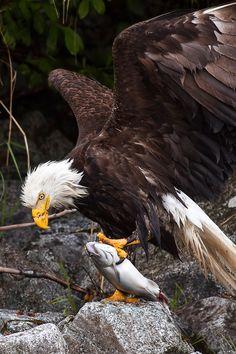 Bald eagle (Haliaeetus leucocephalus), Glacier Bay Wilderness Area in Alaska Beautiful Birds, Animals Beautiful, Cute Animals, Aigle Animal, Eagle Pictures, Les Reptiles, Tier Fotos, Birds Of Prey, Wild Birds