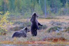 Young Brown Bears 2798 feeding in Finnish bog in autumn. Here they are alert since there was a bigger bear approaching. Big Bear, Black Bear, Finland, Brown Bears, Nature, Helsinki, Animals, September, Life