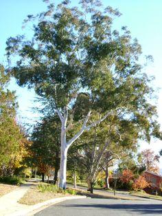 http://arbornet.com.au/images/Eucalyptus%20maniferra%20maculsoa%2005_large.jpg  Eucalyptus Mannifera var. 'Maculosa'/Red-Spotted Gum