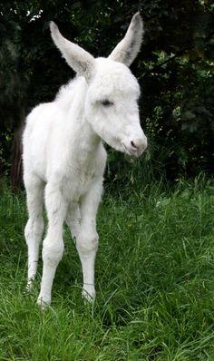 Beautiful Little Angel Baby Donkey, Cute Donkey, Mini Donkey, Beautiful Horses, Animals Beautiful, Beautiful Creatures, Rare Albino Animals, Amazing Animals, Miniature Donkey
