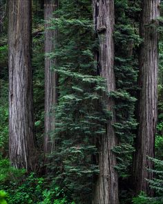 Giant Coast Redwoods ~ a Must-See ~ 2015 Sequoia Sempervirens, Giant Sequoia Trees, Unique Trees, Fantasy World, Northern California, Cool Designs, Coast, Treehouses, Adventure