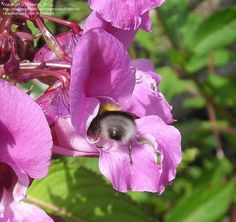 Daily bloom for August 28, 2012: Himalayan balsam (Impatiens glandulifera). Photo by DMersh.