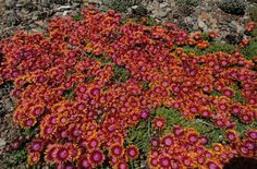 Delosperma 'Fire Spinner' (Fire Spinner Perennial Ice Plant), Zones 5-8 (!), blooms much of late spring and into early summer