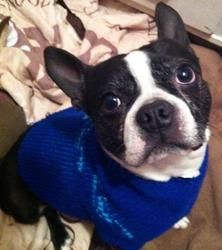 Rocky is an adoptable Boston Terrier Dog in New York, NY.  Hi, I'm Rocky. I'm a very handsome 5 year Boston Terrier. I was given up by a loving family because I have issues of being over protective a...