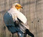 In Europas einzigartigem Greifvogel- und Eulenpark, inmitten historischer Burgmauern, leben verschiedenste Greifvogel- und Eulenarten. Aufgrund der professionellen Betreuung durch erfahrene Falkner führen die Tiere in ihren artgerechten Volieren ein völlig entspanntes und stressfreies Leben. Genau aus diesem Grund lassen sich unsere Vögel bei ihrem natürlichen Tagesprogramm beobachten, ohne sich durch den Betrachter gestört zu fühlen. Eine perfekte Möglichkeit, Greifvögel und Eulen besser… Animals, Eagle, Life, Animales, Animaux, Animal, Animais