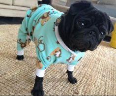 Black Pug..