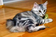 Japanese Bobtail Kitten XD soooo cute Exotic Cat Breeds, Balinese Cat, Japanese Bobtail, Purebred Cats, Manx Cat, Cute Cats And Kittens, Adorable Kittens, Bobtail Cat, Cat Photography