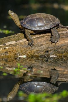 """Reflecting Life"", Western Pond Turtle Clearlake, Northern California.    http://christhephotog.blogspot.com"