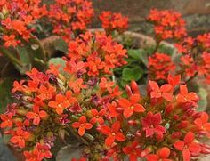 Madagascar Widows Thrill (kalanchoe blossfeldiana): Kalanchoe blossfeldiana is a herbaceous and commonly cultivated house plant of the genus Kalanchoe native to Madagascar. It is known by the English common names flaming Katy, Christmas kalanchoe, florist kalanchoe and Madagascar widow's-thrill.      https://en.wikipedia.org/wiki/Kalanchoe%20blossfeldiana