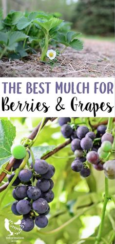 You know the best plants grow in mulch, but do you know what is the best mulch to use on stawberries, raspberries, blackberries, and grapes? #orchard #permaculture #mulch #homesteading #reformationacres