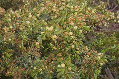 Small/Medium Shrub Understorey - Bird Attracting - Acacia aspera (Rough Wattle)