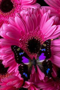 Butterfly Canvas, Butterfly Wallpaper, Butterfly Flowers, Blue Butterfly, Butterfly Kisses, Black Flowers, Beautiful Bugs, Beautiful Butterflies, Beautiful Flowers