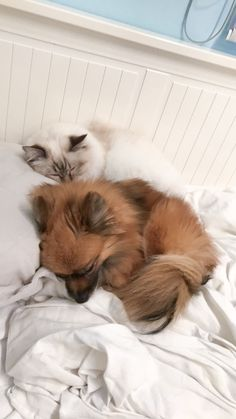 Beautiful friendship between a sacred birman cat and pomeranian dog. Nala & Penny ❤️  YouTube channel: https://m.youtube.com/channel/UCsXIxMuqv0I5cAW3LCTD1lQ YouTube channel: https://m.youtube.com/channel/UCsXIxMuqv0I5cAW3LCTD1lQ