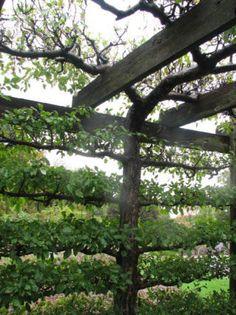 Espalier Designs | Espalier designs/advice for Climbing Hydrangea - Vines Forum ...