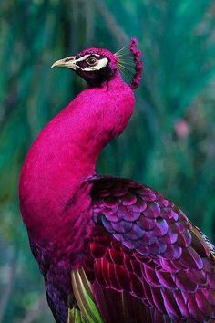 Bright Pink and Purple Hued Peacock