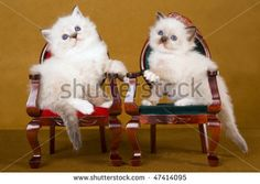 Stock Ragdoll Kittens On Victorian Furniture Gold Background