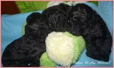 Resultado de imagen para caniches micro toy en capital federal. #cachorros #caniches #negros