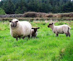 springtime on the farm in ireland