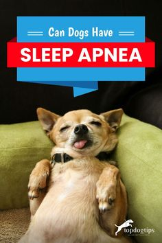Can dogs have sleep apnea? Turns out they definitely can, and here are the risks that can come with it and what you need to do. Overweight Dog, Causes Of Sleep Apnea, Dog Health Tips, Words Of Comfort, Dog Anxiety, Physical Activities, How To Fall Asleep, Snoopy, Puppies