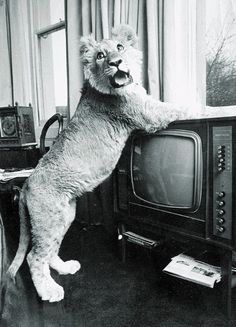 Christian the lion! discovered by Daisy on We Heart It - jordan mobley - Christian the lion! discovered by Daisy on We Heart It Christian the lion! Pet Lion, Lion Cub, Baby Animals, Funny Animals, Cute Animals, Beautiful Creatures, Animals Beautiful, Lion Story, Lions Live