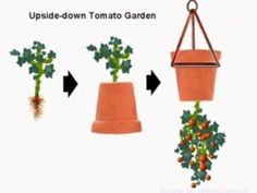 Forget the overpriced topsy-turvy bags, this is a far more natural looking upside down tomato pot! Forget the overpriced topsy-turvy bags, this is a far more natural looking upside down tomato pot! Growing Tomato Plants, Growing Tomatoes In Containers, Growing Vegetables, Potted Tomato Plants, Patio Tomatoes, Grow Tomatoes, Freezing Fresh Corn, Upside Down Plants, Upside Down Tomato Planter