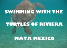 Click to Read about swimming with the turtles of Mexico! #Turtles #Mexico #RivieraMaya
