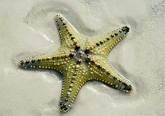 Starfish are not actually a fish at all , but are animals belonging to the Phylum Echinodermata, and are further divided into two classes Asteroidea(sea stars) and Ophiuroidea(brittle stars) Starfish Story, Brittle Star, In This World, Green Beach, Marine Aquarium, Aquarium Fish, Architecture Tattoo, Animal Quotes, Ocean Life