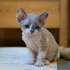 I must have this kitteh! Puppies And Kitties, Cats And Kittens, Devon Rex Cats, Tie Dye, Curly, Kitty, Fancy, Pets, Animals