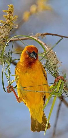Cape Weaver, Mussel Bay, South Africa. The whole group of weaver birds are amazing little engineers.