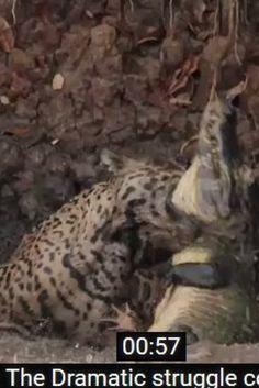Νόμος της ζούγκλας: Τζάγκουαρ πηδά στο νερό και αρπάζει έναν κροκόδειλο. Ένας θα βγει νικητής