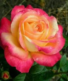 beautiful rose, easy to combine with yellow and/or pink roses in a bouquet Love Rose, Love Flowers, My Flower, Pretty Roses, Beautiful Roses, Beautiful Gardens, Orange Roses, Pink Roses, Peace Rose