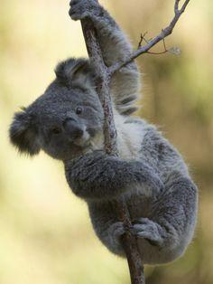 Koala (Phascolarctos Cinereus) in a Eucalyptus Tree