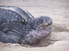 Populations of leatherback turtles in the Pacific Ocean have declined by more than 90% since 1980, making them one of the most endangered animals in the world. http://www.conservation-jobs.co.uk/59879/leatherbacks-longlines/