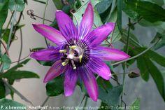 Collezione di Maurizio Vecchia: Passiflora 'Amethyst'