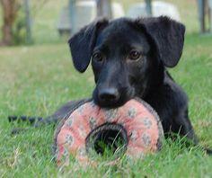 Forever Home Rescue New England Home Rescue, Dog Pounds, New England, Labrador Retriever, Dogs, Animals, Labrador Retrievers, Animales, Animaux