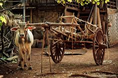 Kalaw Area.  Wooden wagon harnessed the oxen is the most popular means of transport to the village.
