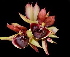 Catasetum pileatum red - Flickr - Photo Sharing!
