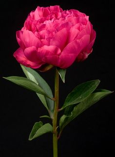 Magenta Peony. To view our entire selection, visit us at www.starflor.com #flowers