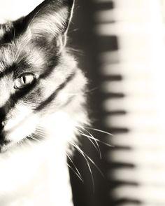 animal photography black white cat photography by TheGinghamOwl, $21.00