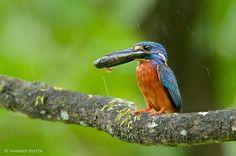 Photo Blue Eared Kingfisher by Sandeep Dutta.www.500px.com