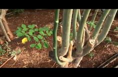 The Discovery Channel Documentary, Miracle Tree, about Moringa oleifera.